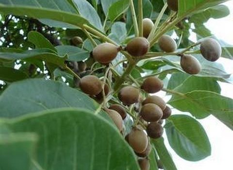 terminalia bellirica tamil name